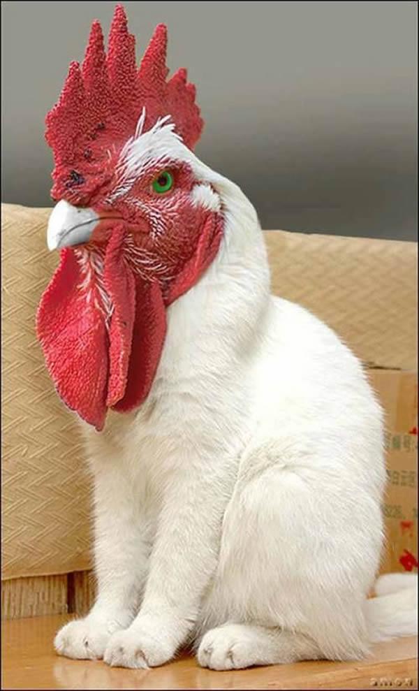 poule-4