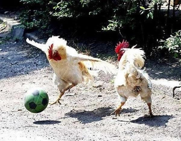 poule-9